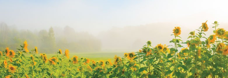 Row of sunflowers with a grass field behind it and a misty treeline in the background